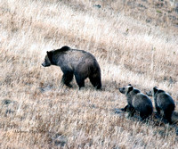 Hayden Valley Grizzly with her two cubs