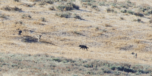 Young Wolves of the Lamar Valley