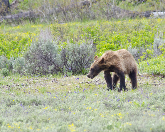 Struggling Grizzly Cub