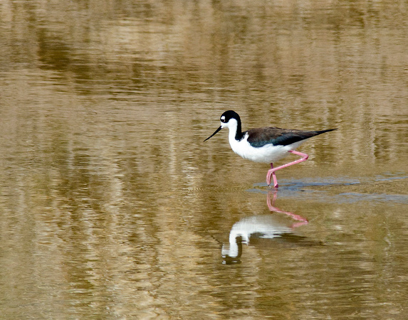 Black Winged Stilt Bear Lake Refuge
